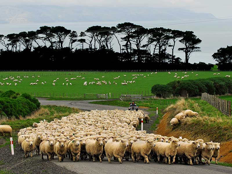 Sheep Mustering at Wharekauhau