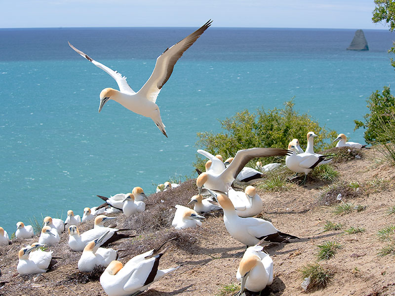 Farm at Cape Kidnappers - Gannet Colony